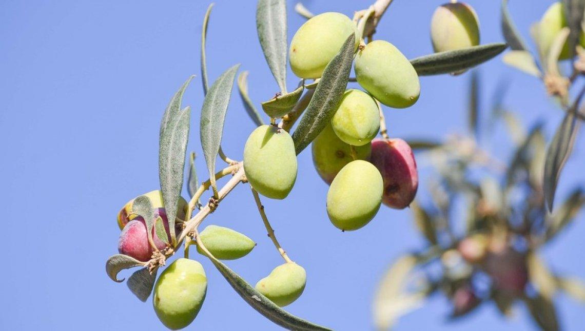 Le acque di vegetazione sono un ottimo ammendante per l'oliveto