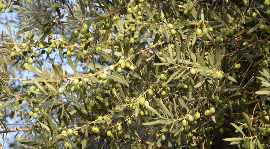 Le grandi variazioni del consumo di olio d'oliva nel mondo