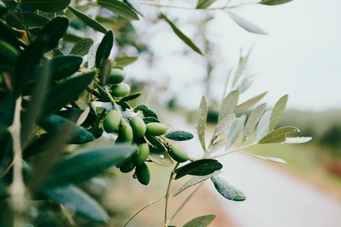 La diretta correlazione tra piovosità e qualità dell'olio extra vergine d'oliva