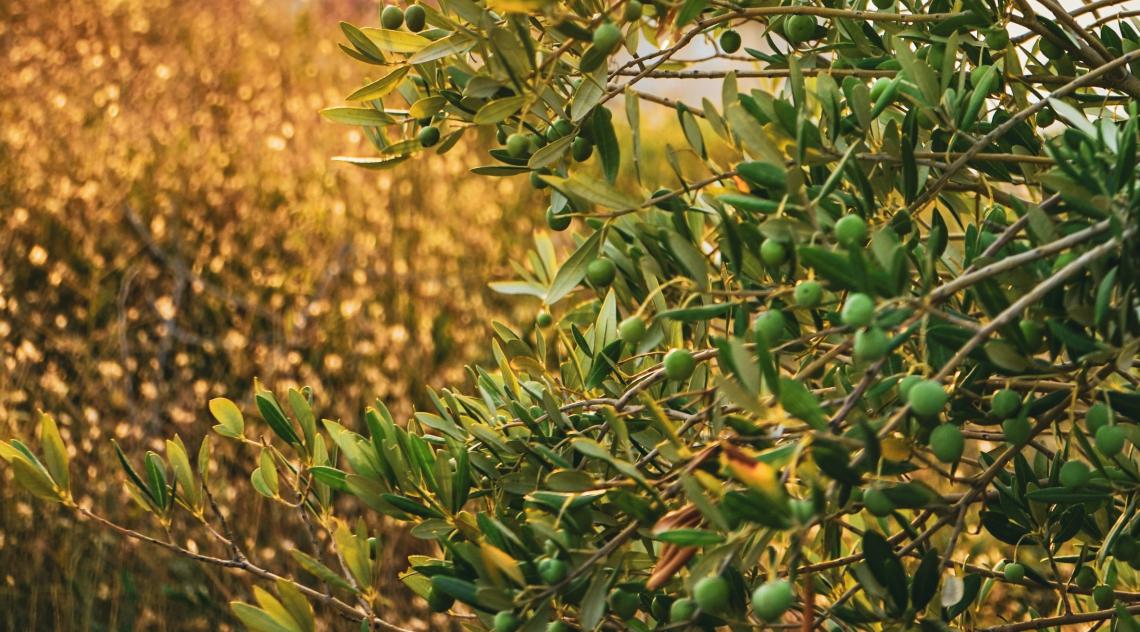 Le asportazioni di nutrienti per potatura e raccolta nell'olivo sono sopravvalutate