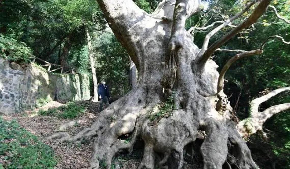 Il platano millenario di Curinga è il candidato italiano al Concorso europeo per l'albero monumentale del 2021