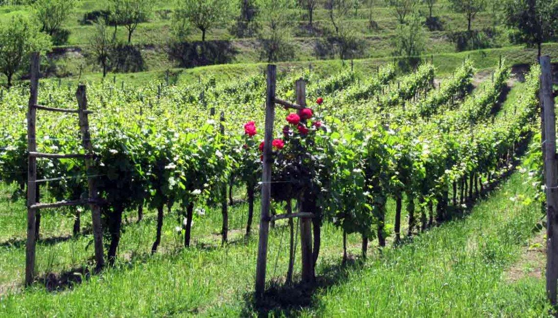 L'inerbimento può avere un'influenza positiva sull'efficienza dell'uso dell'acqua nei vigneti e negli oliveti