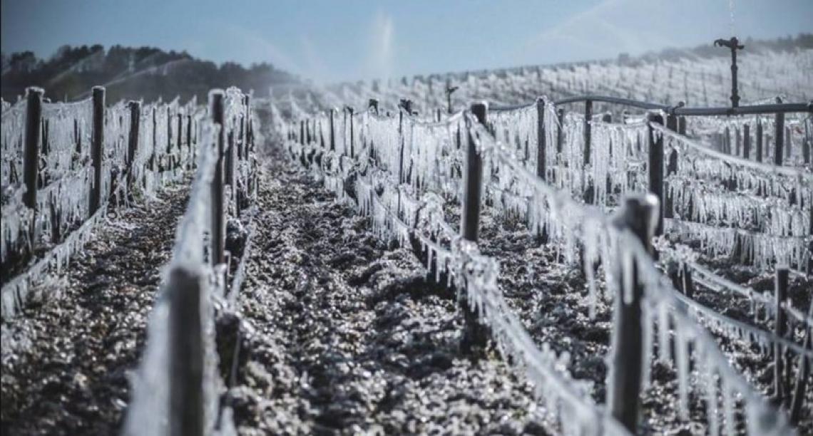 Gelate di primavera: danni ingenti alla viticoltura