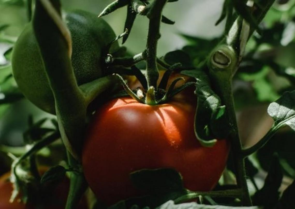 Il lungo viaggio del pomodoro: dai Maya alla coltivazione con drone e software