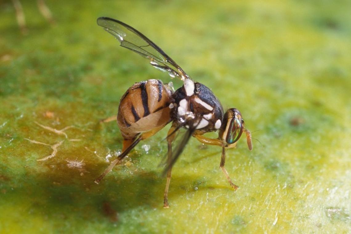 La mosca dell'olivo modifica la naturale diversità fungina sulla drupa