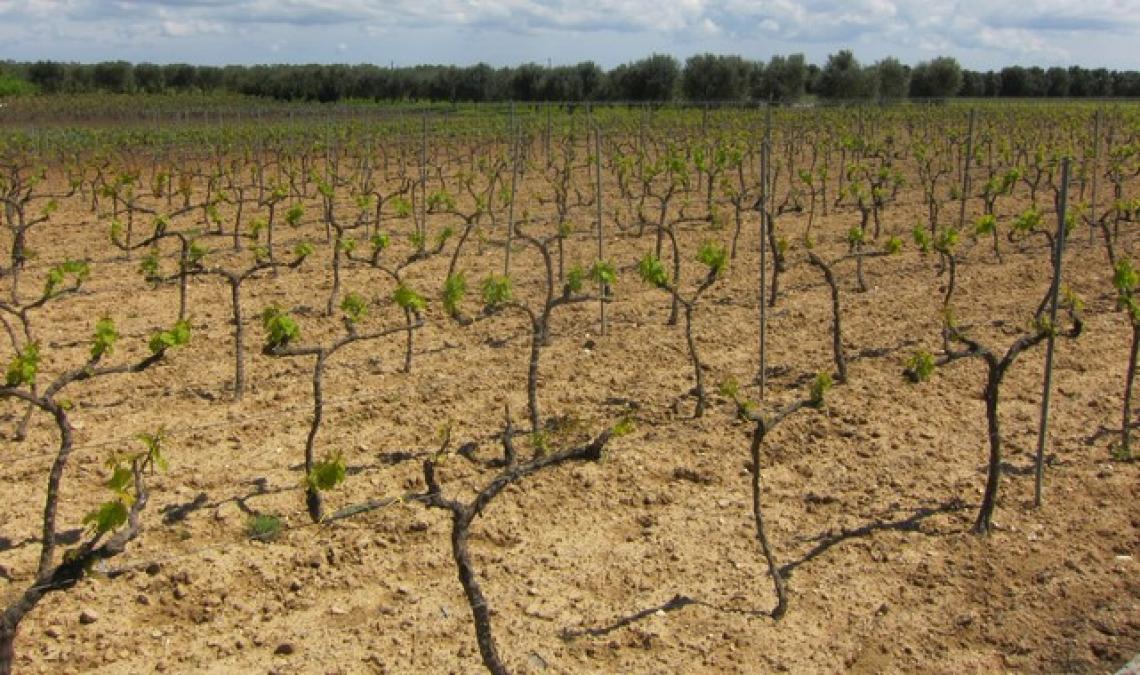 L'influenza di gestione del suolo e forme di allevamento sulla qualità del vino Negroamaro
