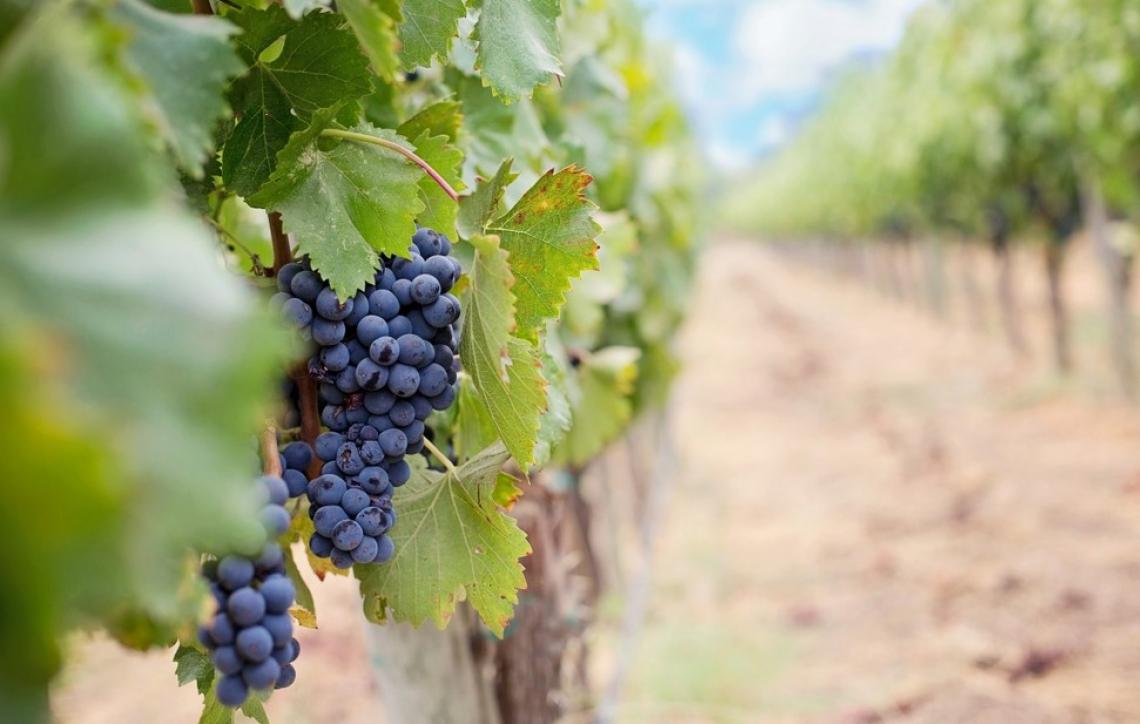 Defogliazione meccanica della vite e stress idrico influenzano l'accumulo di flavonoidi nei grappoli