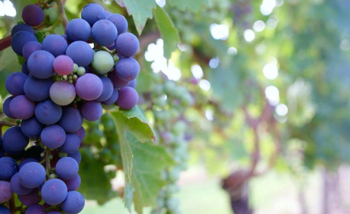 La viticoltura biologica estesa ormai su mezzo milione di ettari