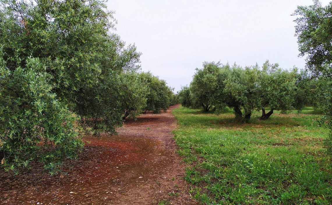 L'intensificazione dell'olivicoltura danneggia l'ambiente