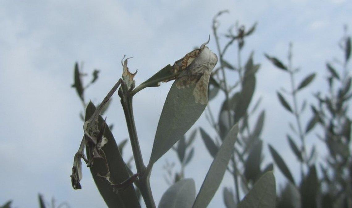 Monitorare per difendersi da margaronia e cecidomia dell'olivo