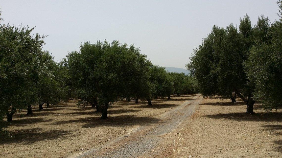 In terreni calcarei la fertilizzazione chimica dell'olivo non basta