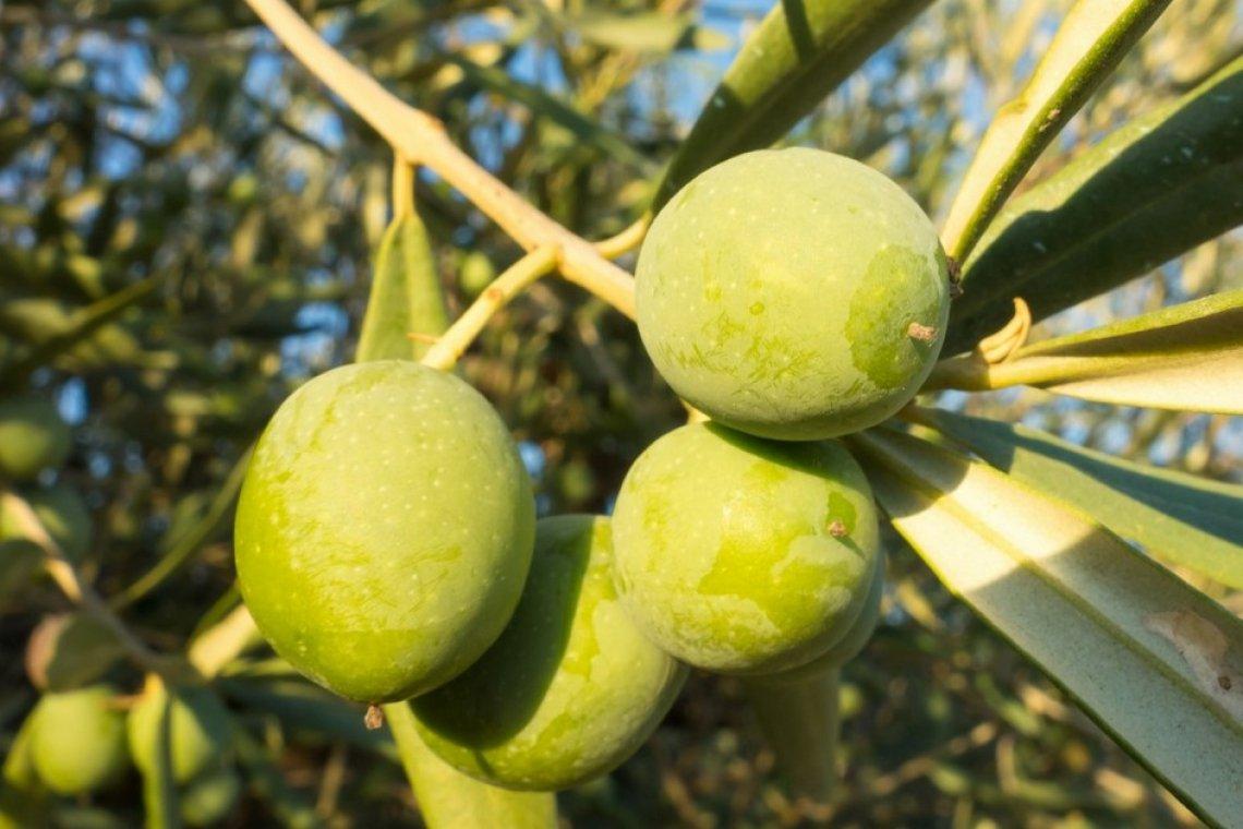 Finanziamento europeo le piccole e medie imprese nel settore olivicolo