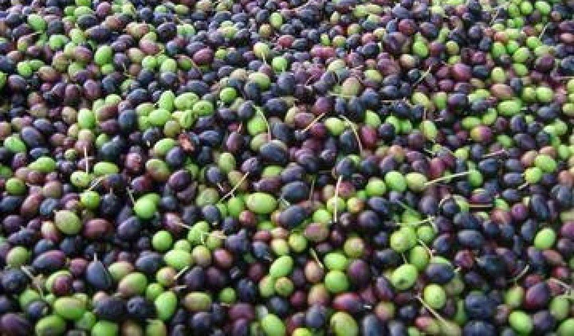 I prezzi delle olive: è corsa ma solo al centro-nord Italia