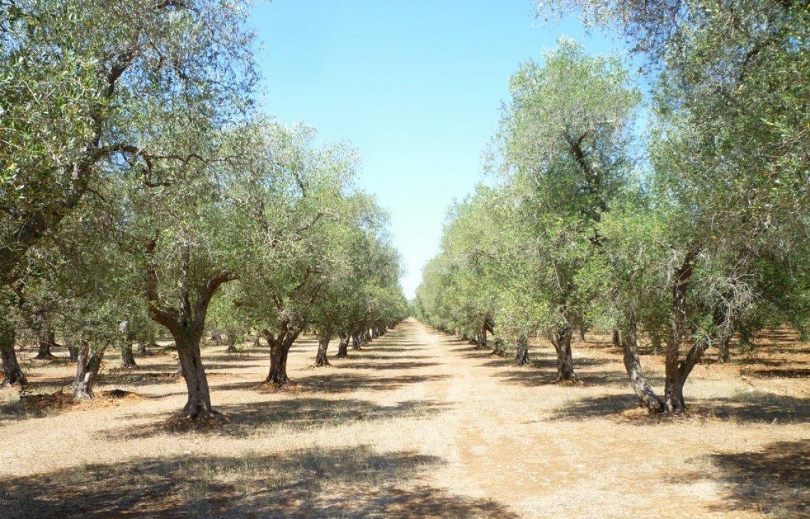 L'effetto delle alte temperature estive sull'accumulo d'olio nelle olive
