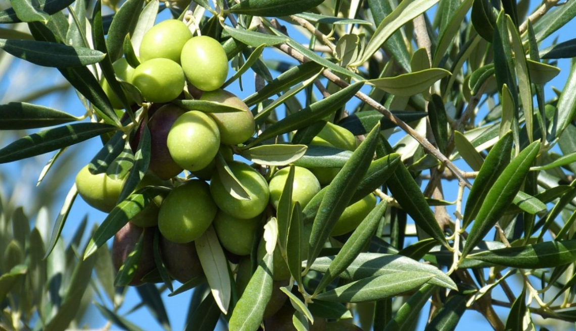 Tracciabilità e documenti di trasporto telematici per i trasporti di olive e olio fuori territorio