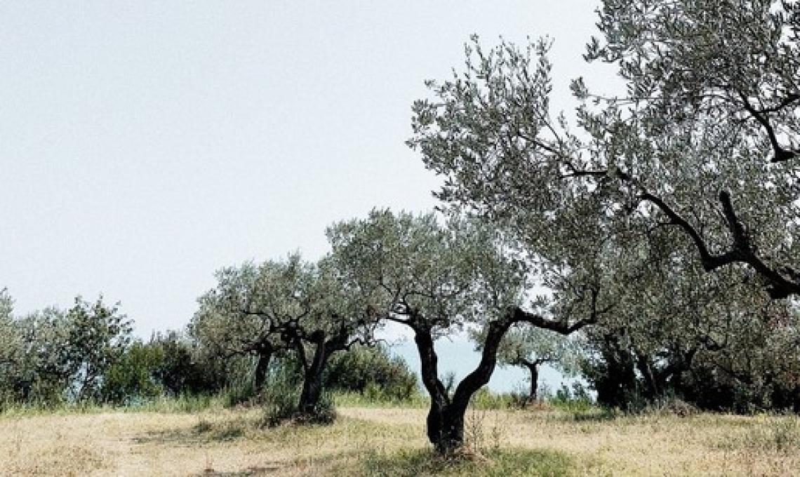 L'oliveto tradizionale presenta la maggiore mitigazione di CO2 rispetto alla coltivazione intensiva