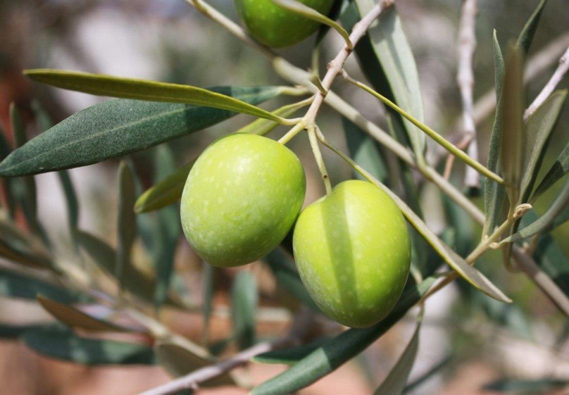 L'influenza della fertilizzazione con azoto sulla qualità dell'olio extra vergine d'oliva