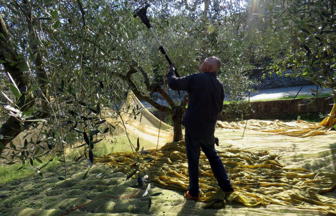 La giusta frequenza di battitura dell'abbacchiatore per non danneggiare le olive