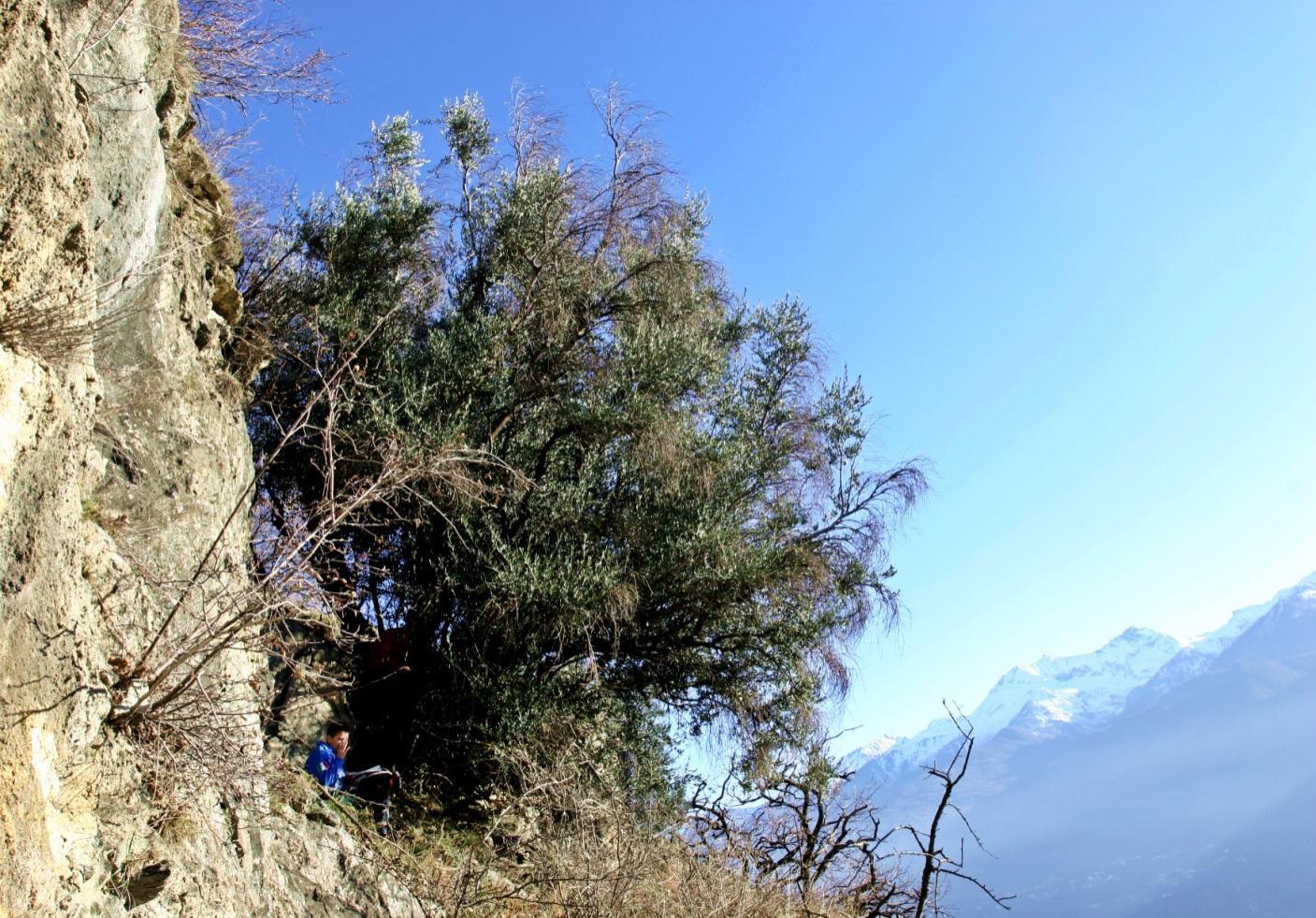Olivi in val di susa: quando si pregava alla luce dellolio delle alpi