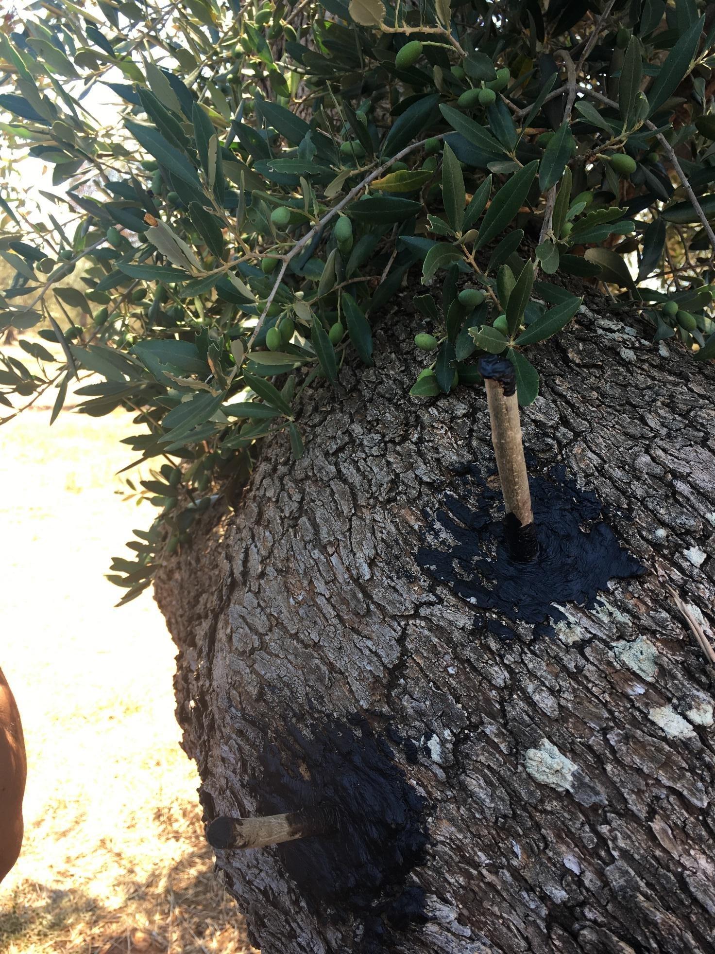 Calendario Trattamenti Olivo Puglia.Un Nuovo Innesto Semplificato Per Garantire Un Futuro All