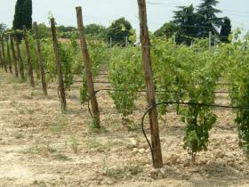 L Irrigazione Indispensabile Per Una Viticoltura Di Qualita