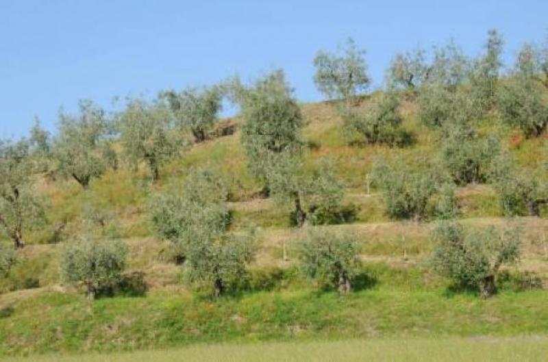 Olivi del Garda - foto di Roberto Lazzarin