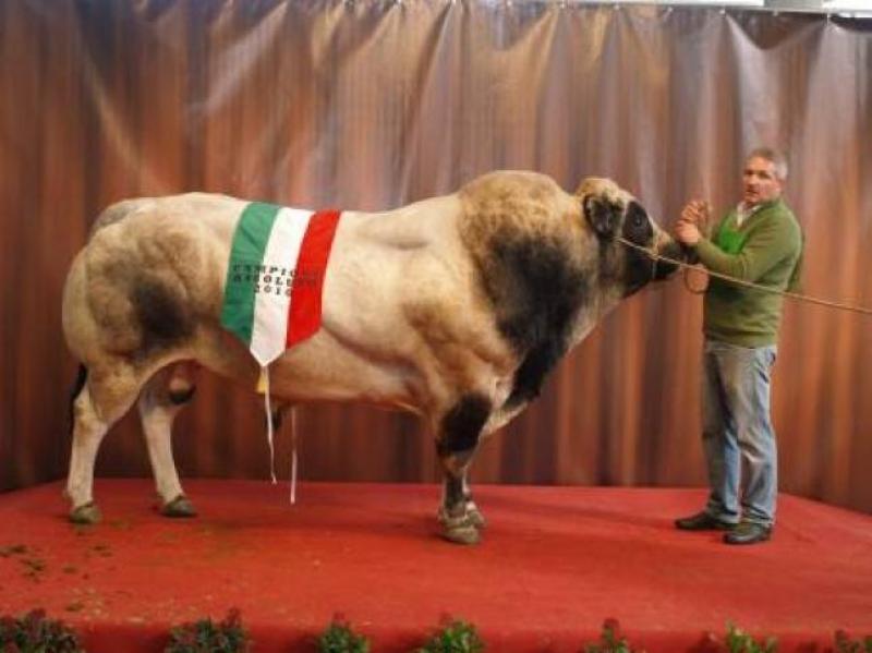 Anche i tori salgono sul podio - foto Mostra nazionale razza piemontese