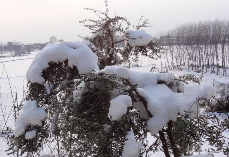 Oliveti piemontesi sotto la neve