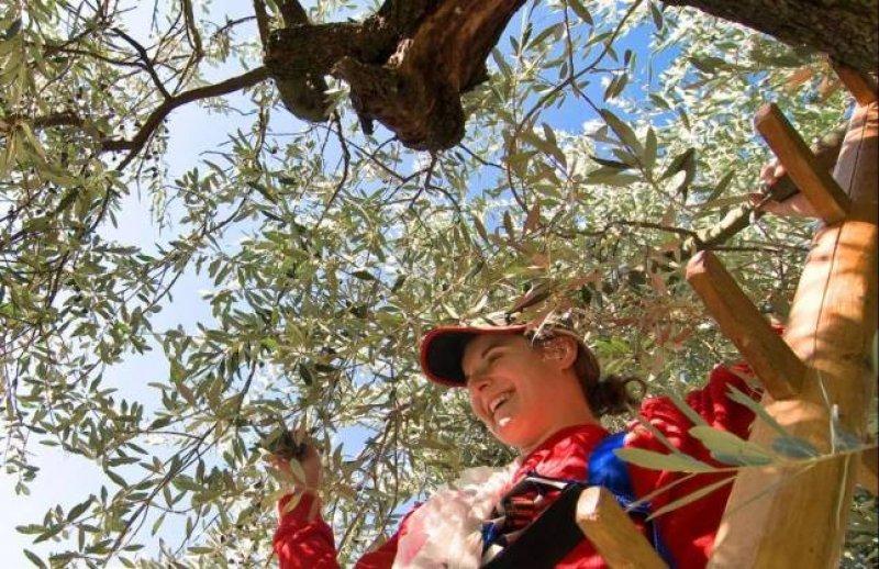 Raccolta delle olive nei Giardini di Sissi