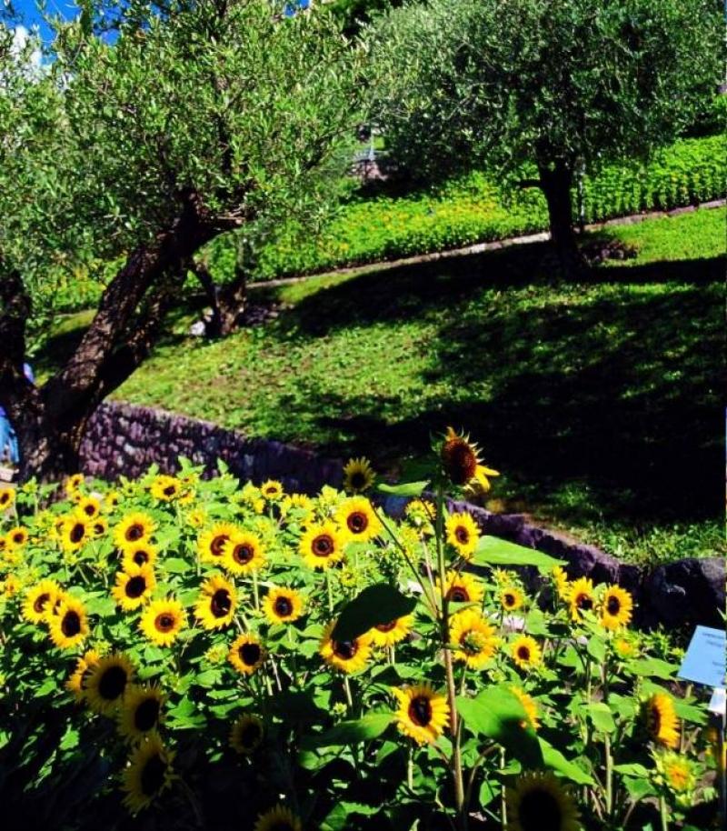 Olivi e girasoli