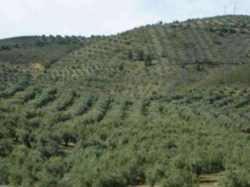Un tuffo nel mare verde degli ulivi, in Andalusia - Foto di Luigi Caricato