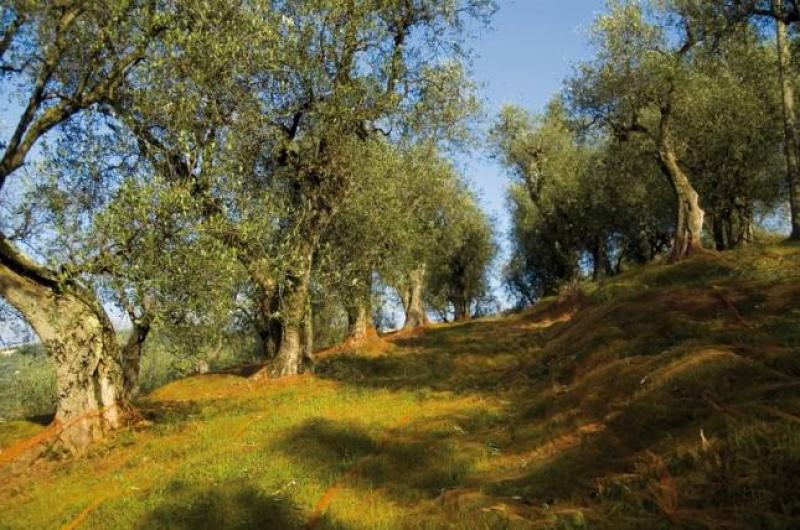 L'Italia olivicola si presenta così