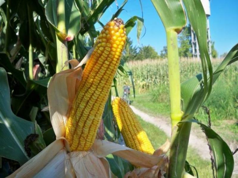 Ecco il primo mais OGM