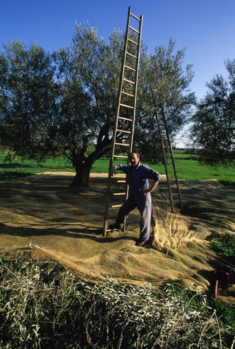 Potatura e raccolta dell'olivo