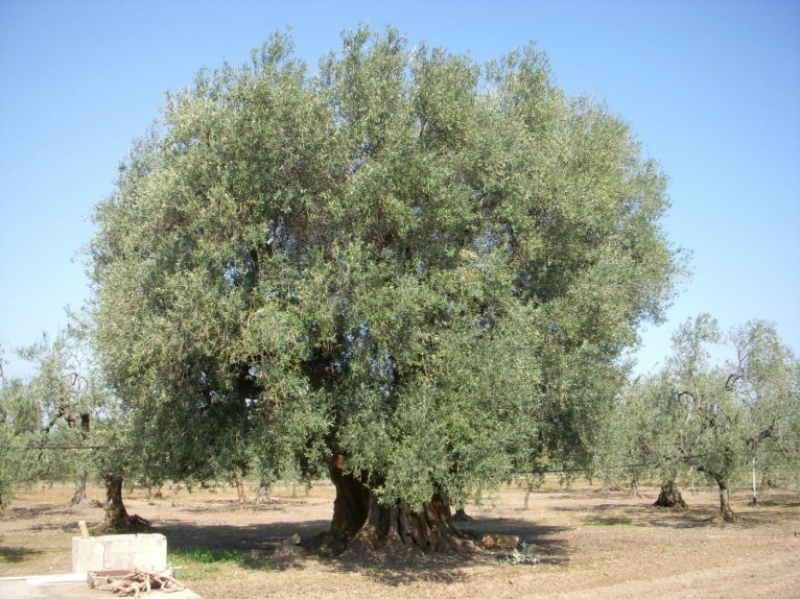 La Coratina, una pianta miracolosa