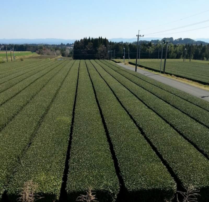 Coltivazione di tè verde a Kagoshima (Giappone)