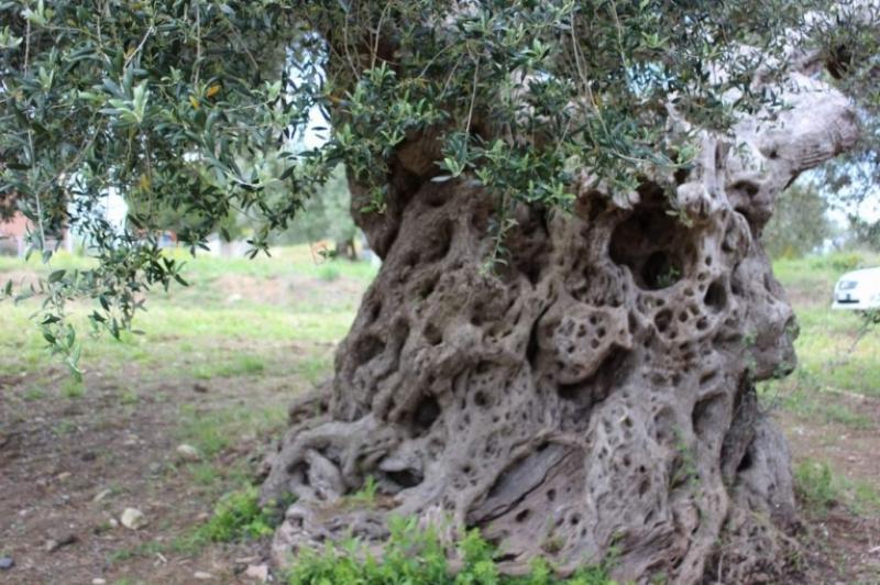 Quando gli olivi ci raccontano una storia...