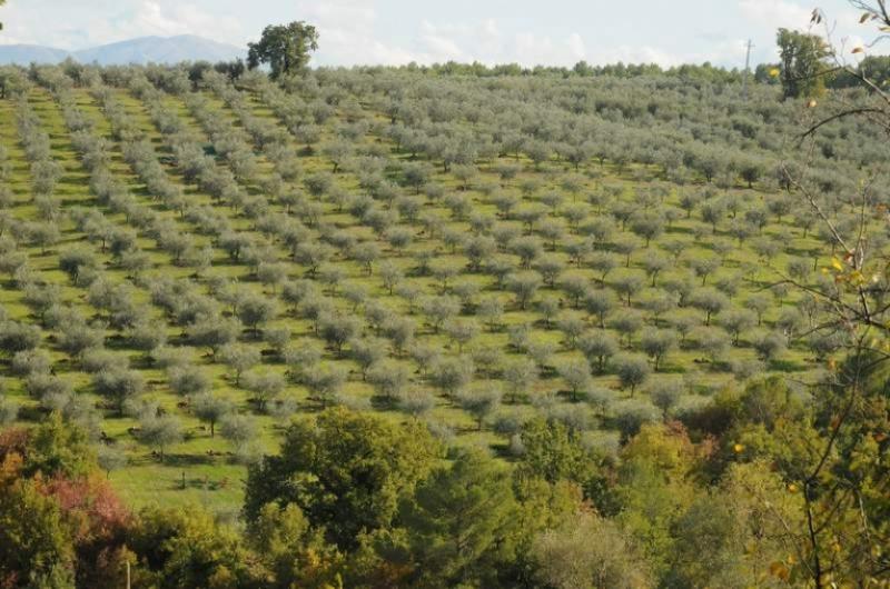 Colline olivetate umbre, un patrimonio da salvare?