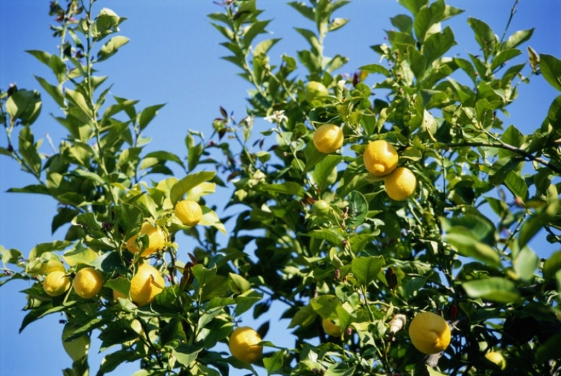 I limoni, gusto fresco dell'estate