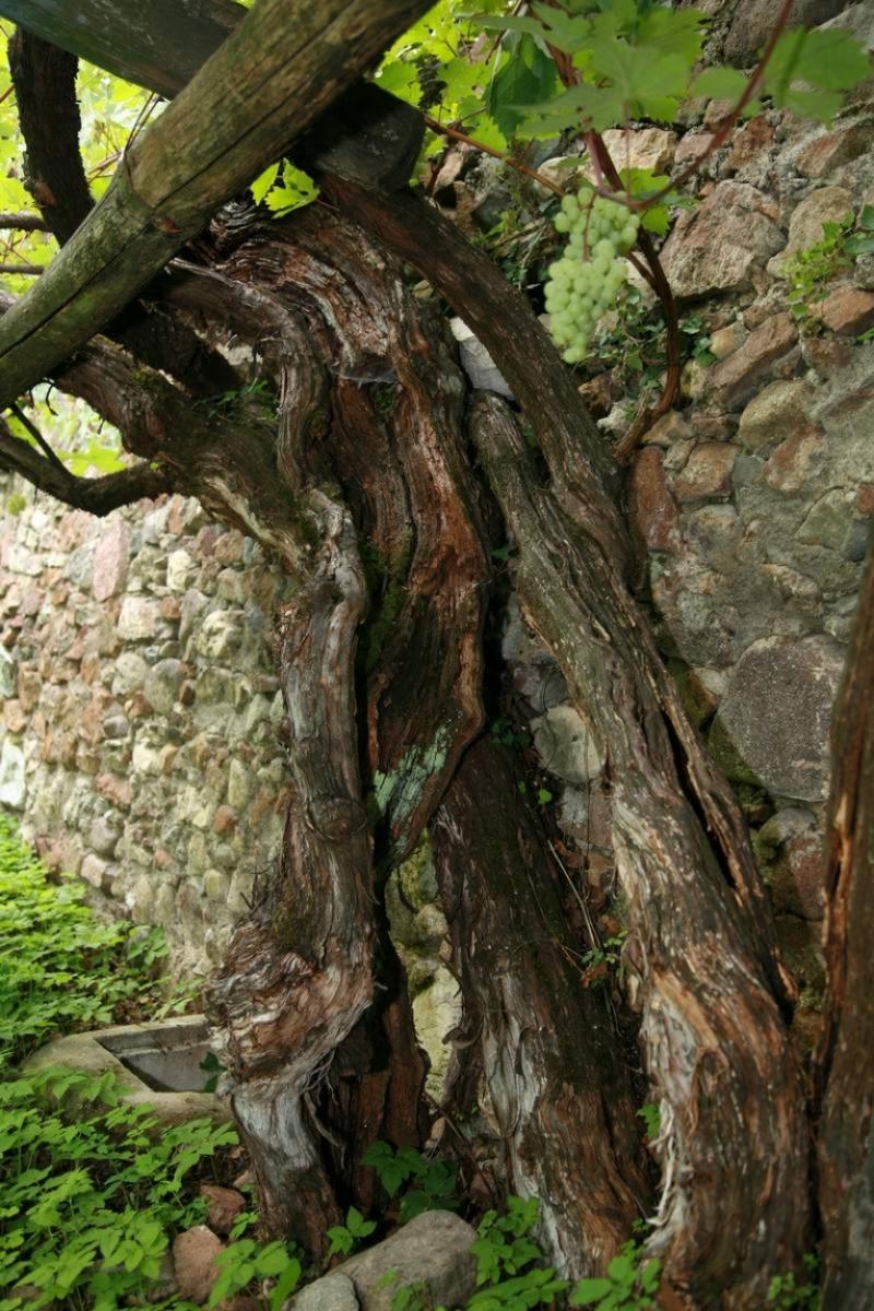 Versoaln, la più antica e più grande vite al mondo