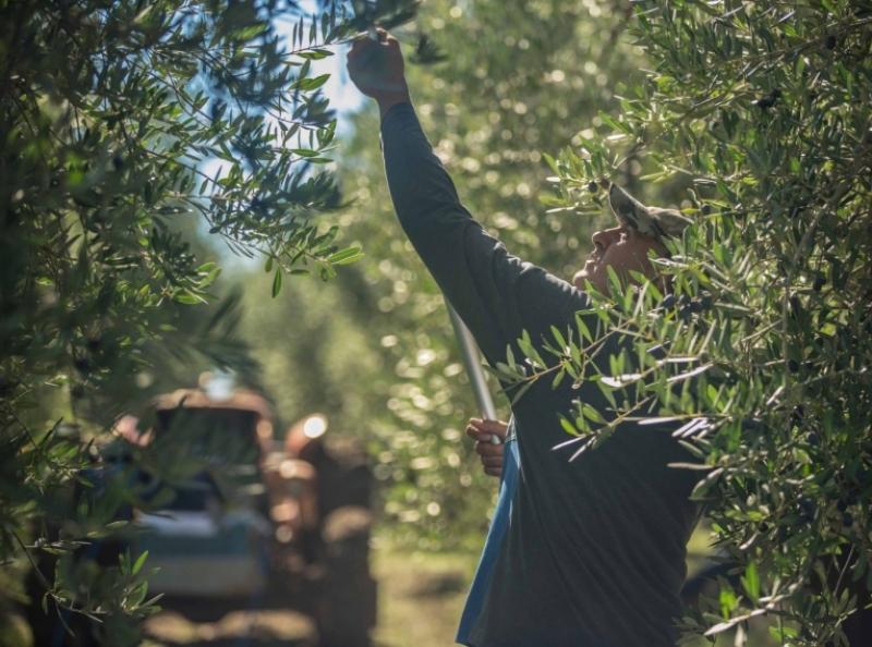Emozioni della raccolta delle olive