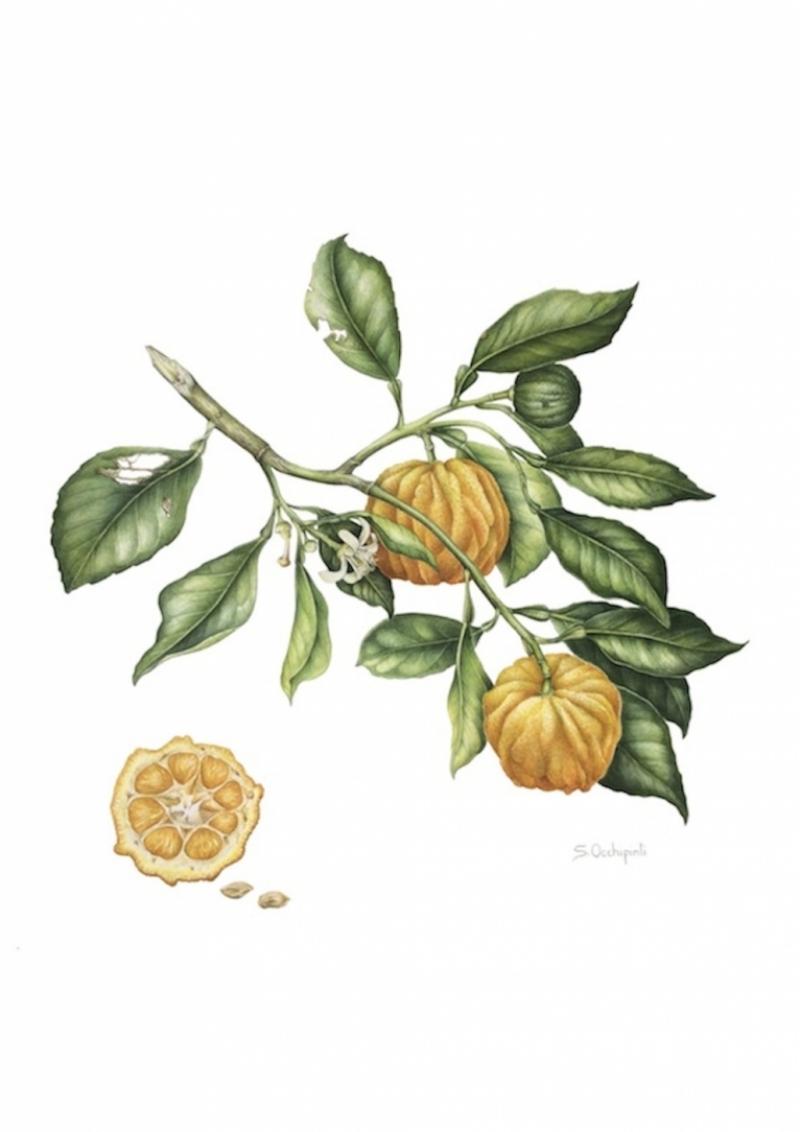 Citrus, l'Oro dei Medici