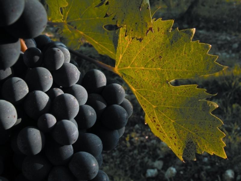 Il Sangiovese, re dei vitigni italiani