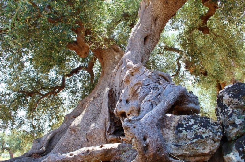Quando gli olivi parlano