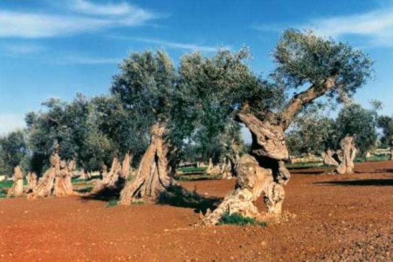 Olivi, sculture vegetali viventi. Foto Consorzio Dop Collina di Brindisi