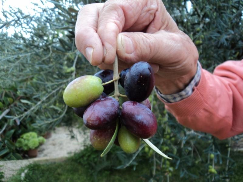 "Coratina, ovvero ""olive a racioppe"""