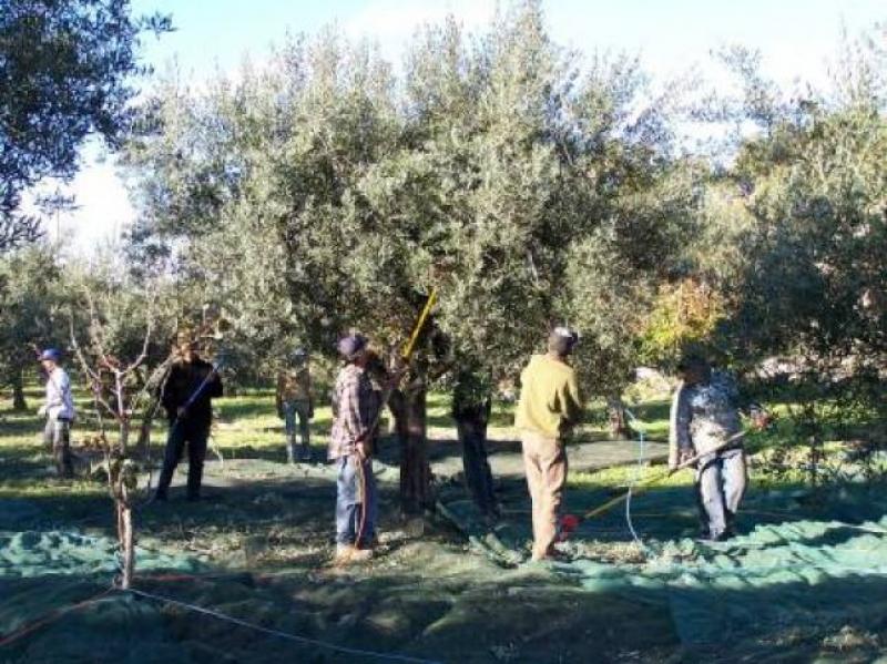 L'olivagione in Molise - Foto Giovanni Aloia
