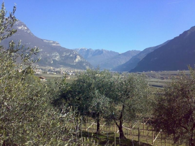 Olivicoltura in Trentino