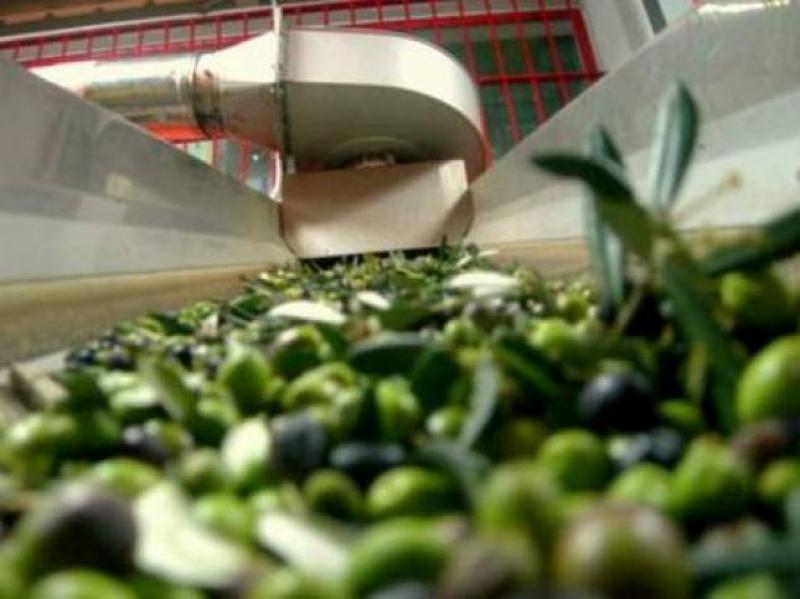 Le olive si avviano al frantoio - Foto Francesco Travaglini - Parco dei Buoi