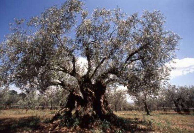 L'ulivo secolare di Macciano - Elisabetta De Vergori